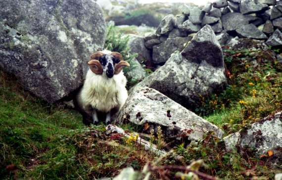 Connemara sheep, copyright M.S. Shaffer 1995