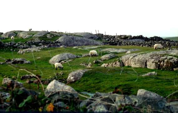 Sheep grazing rocky Connemara, copyright M.S. Shaffer 1995