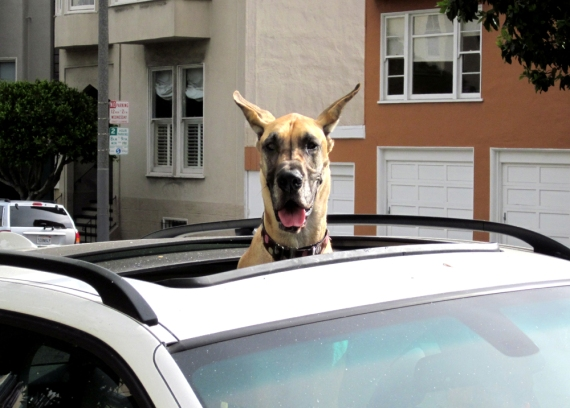 Great Dane in Sunroof
