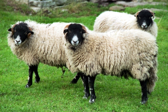 3 sheep, Swaledale, North Yorkshire