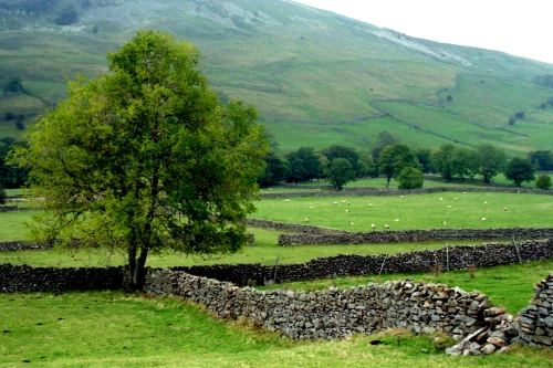 Tree and stone walls, Swaledale, North Yorkshire