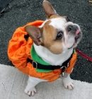Frenchie Pumpkin